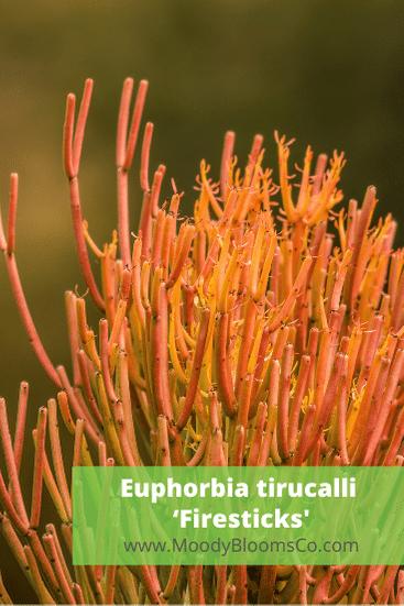 Euphorbia tirucalli 'Firesticks'
