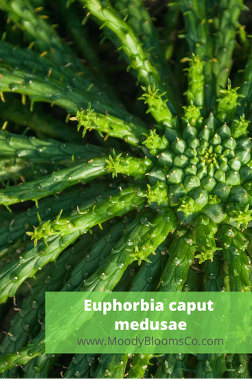 Medusa's head euphorbia Euphorbia caput-medusae