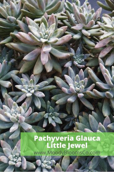 Pachyveria Glauca - Little Jewel