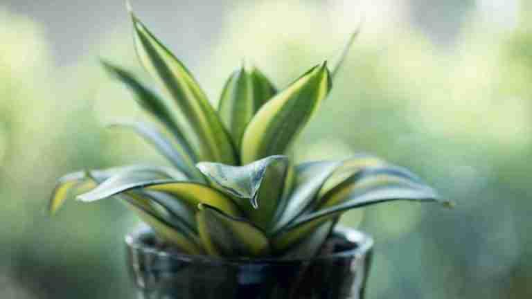 bird's nest snake plant
