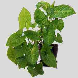 Arrowhead Plant (Syngonium podophyllum) Care