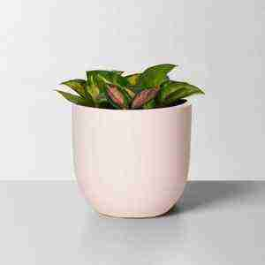 Hoya Carnosa Tricolor – Wax Plant Care & Info Guide