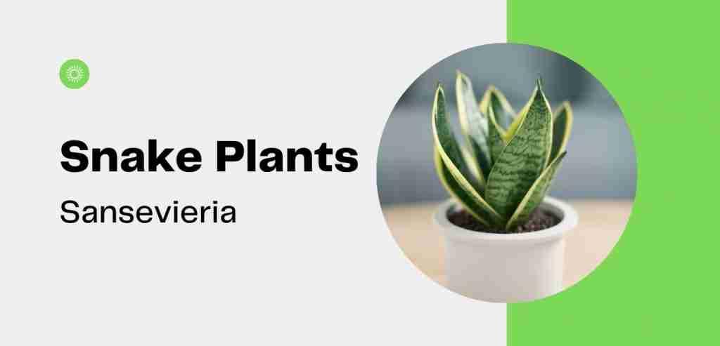 Snake Plants Sansevieria