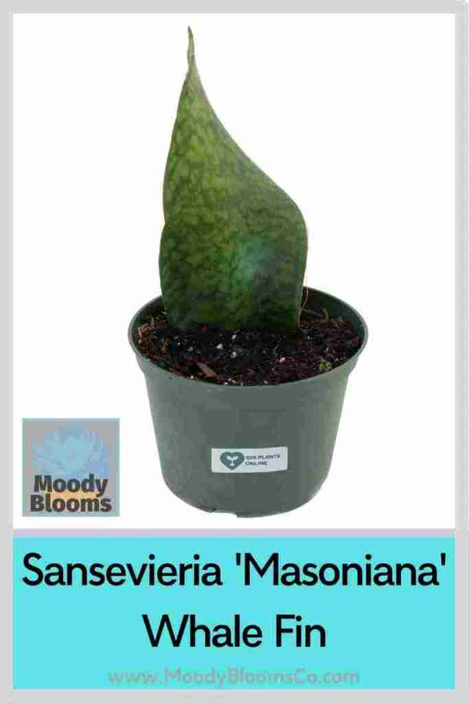 Masoniana Sanseveria