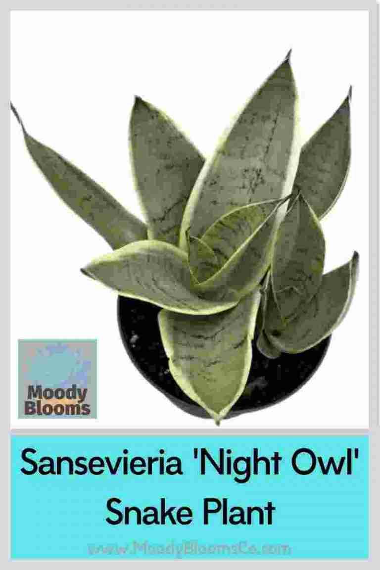 Night Owl Snake Plant - Sanseveria