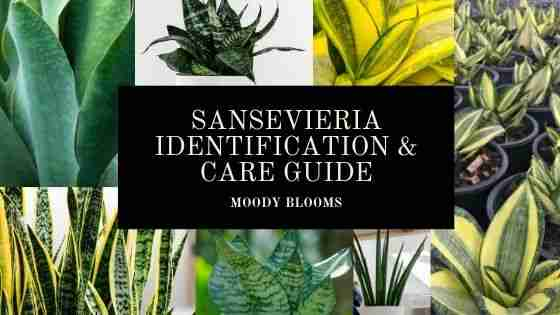 Sansevieria Snake Plant Variety Identification with Pictures and Care Guide