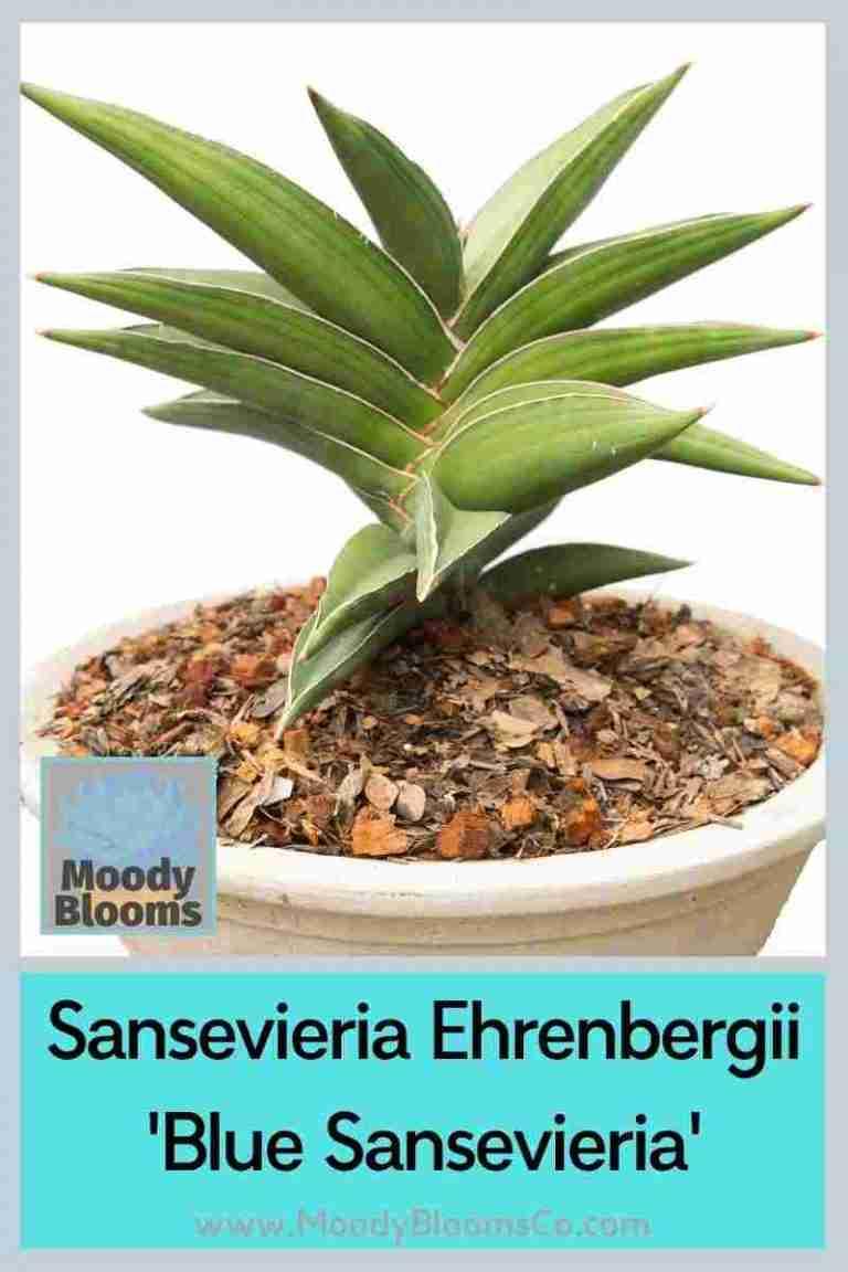 Sansevieria Ehrenbergii 'Blue Sansevieria'