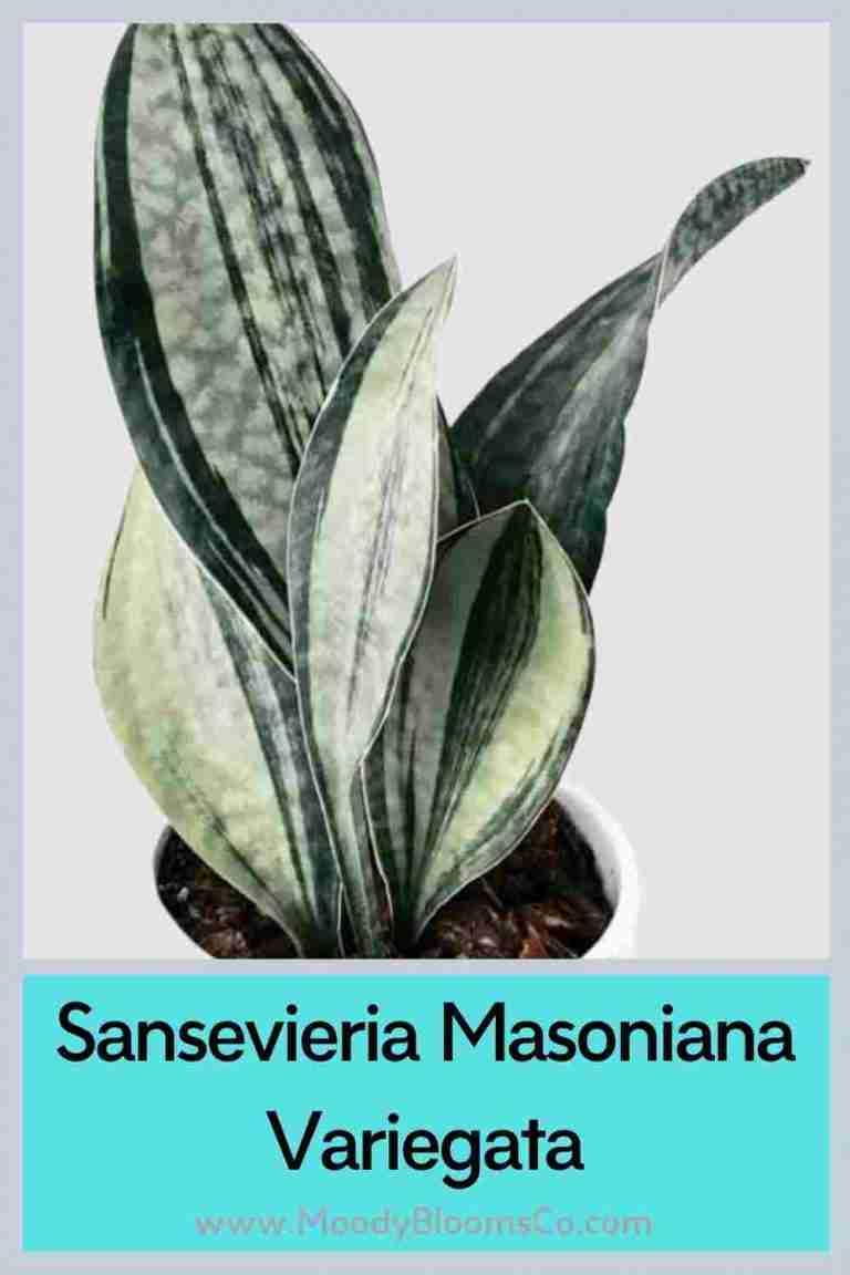 Sansevieria Masoniana Variegata