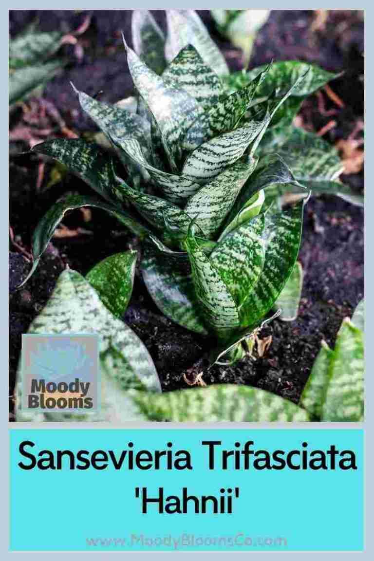 Sansevieria Trifasciata Hahnii