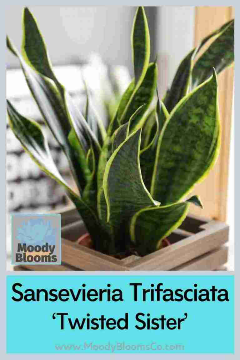 Sansevieria - Snake Plant Variety Identification with Pictures and Care Guide