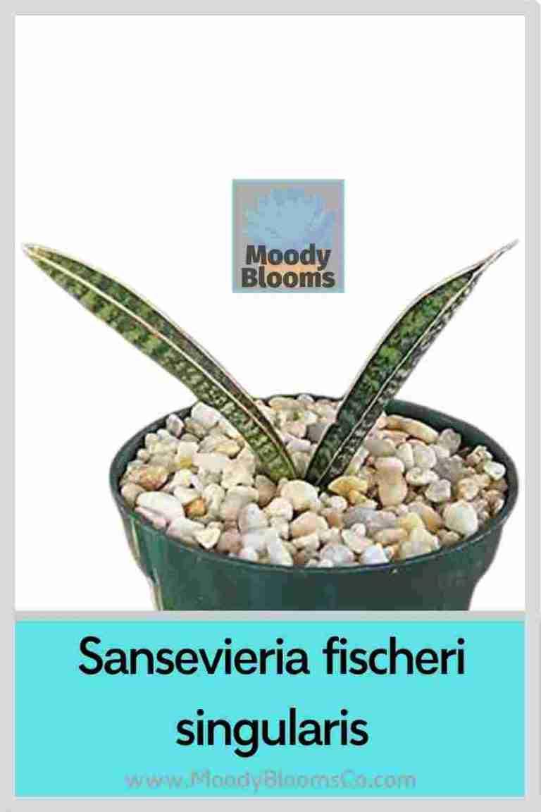 Sansevieria fischeri singularis