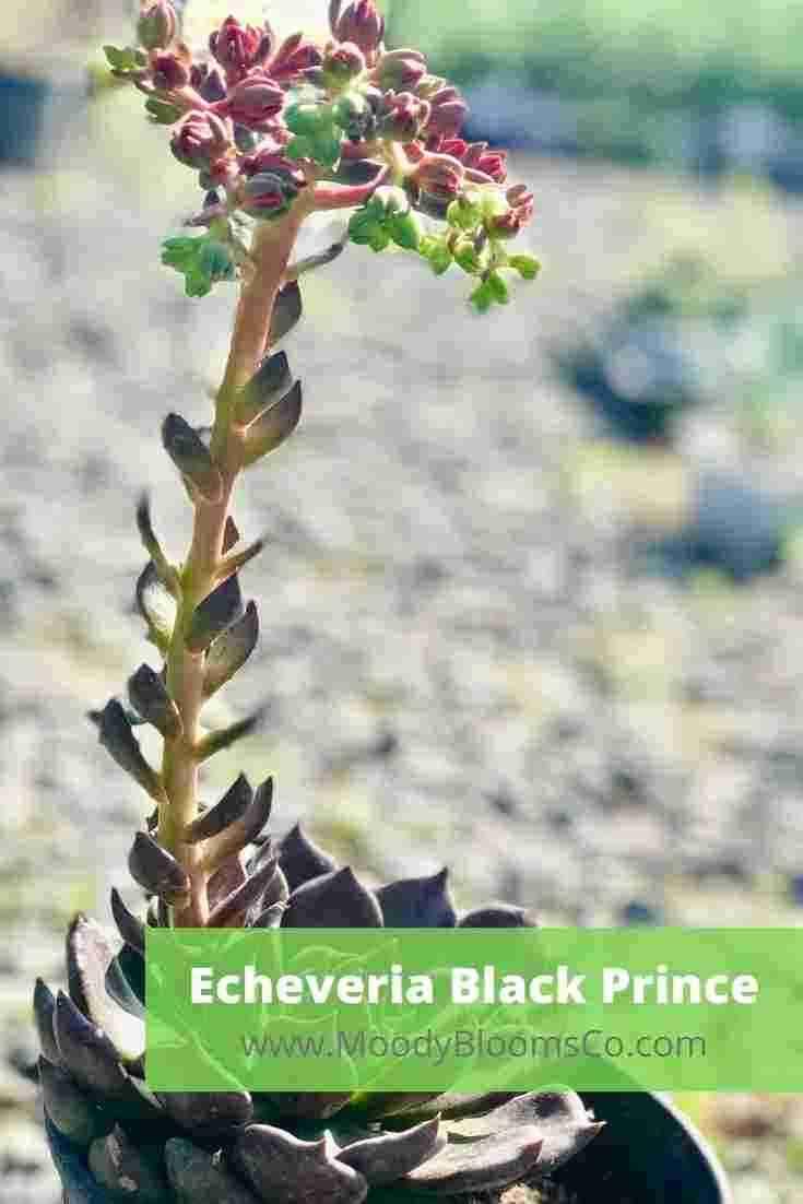 Echeveria Black Prince Blooms