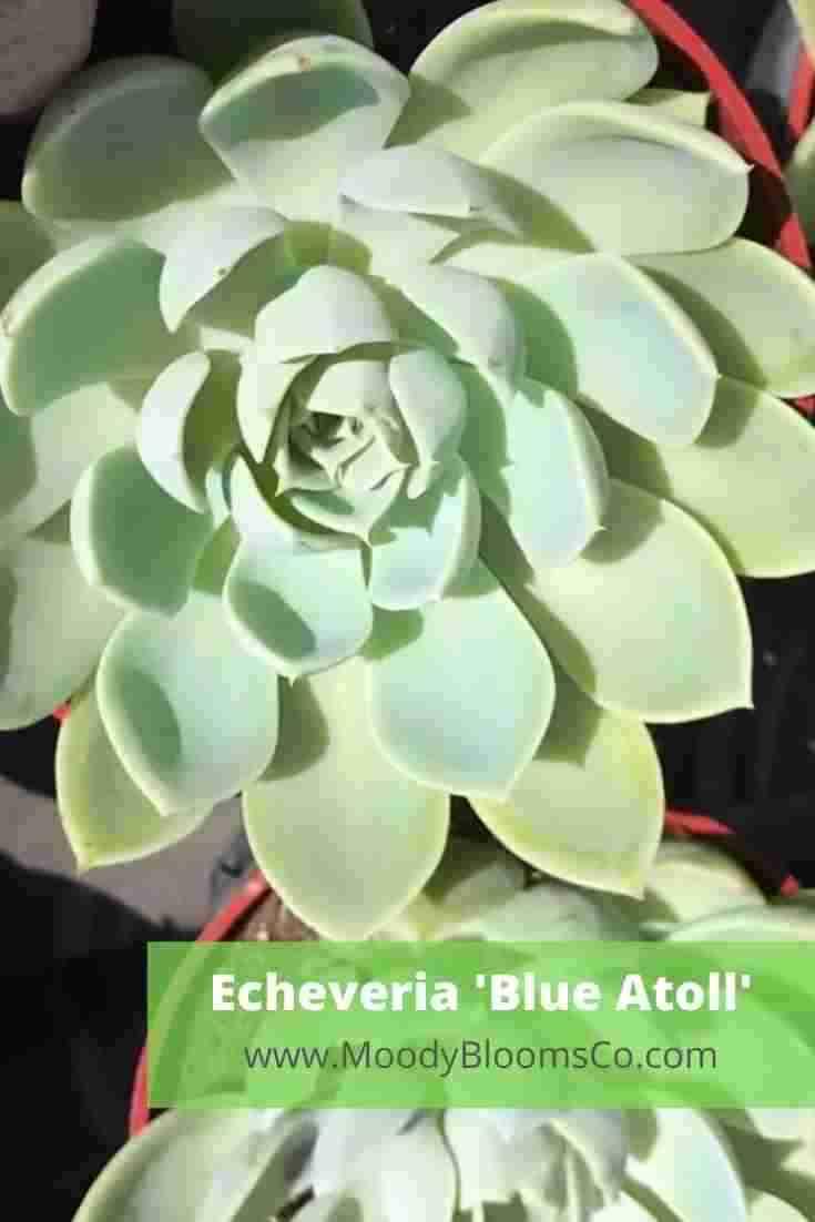Echeveria 'Blue Atoll'
