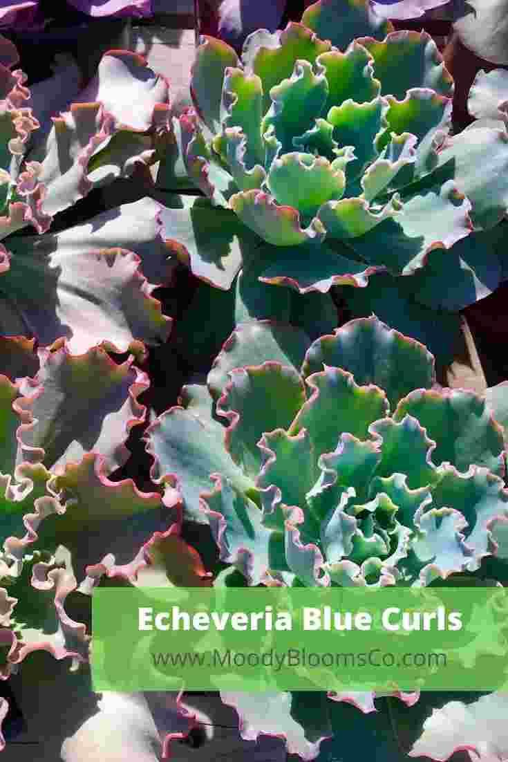 Echeveria Blue Curls