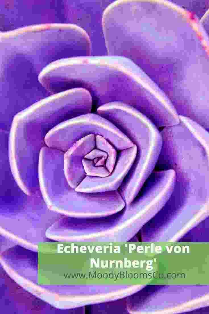 Echeveria 'Perle von Nurnberg'