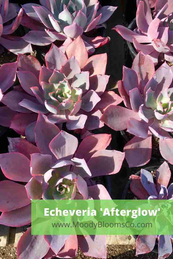 Echeveria 'Afterglow'