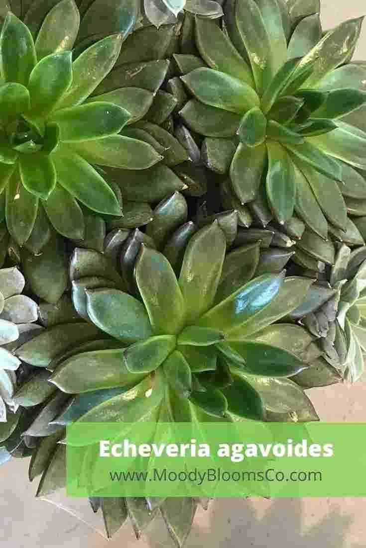 Echeveria agavoides