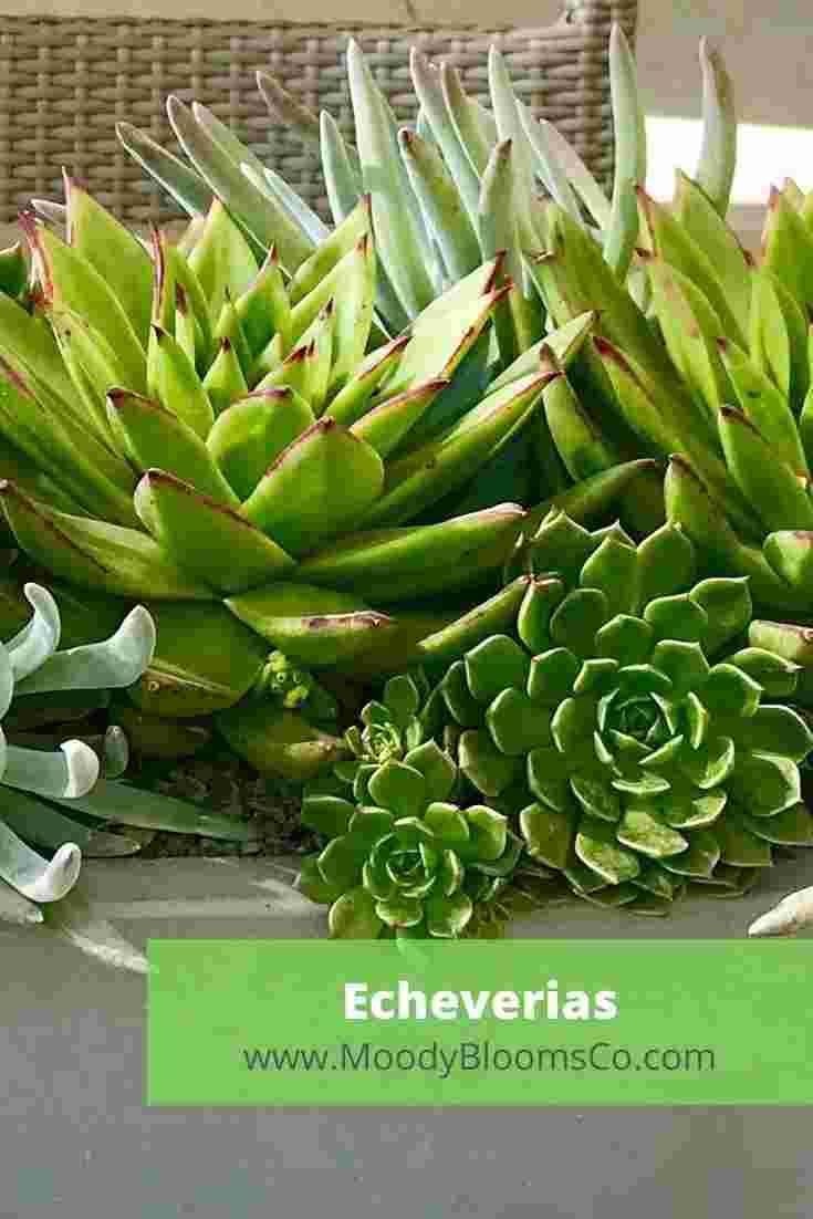 Echeverias