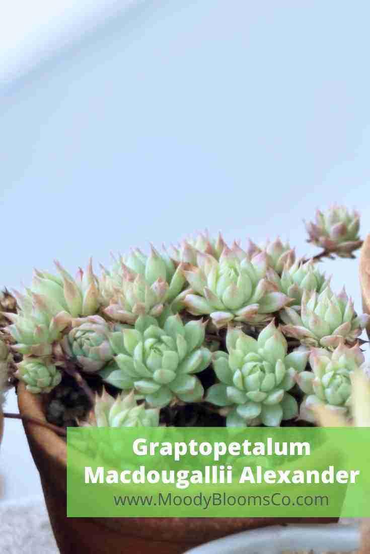 Graptopetalum Macdougallii Alexander