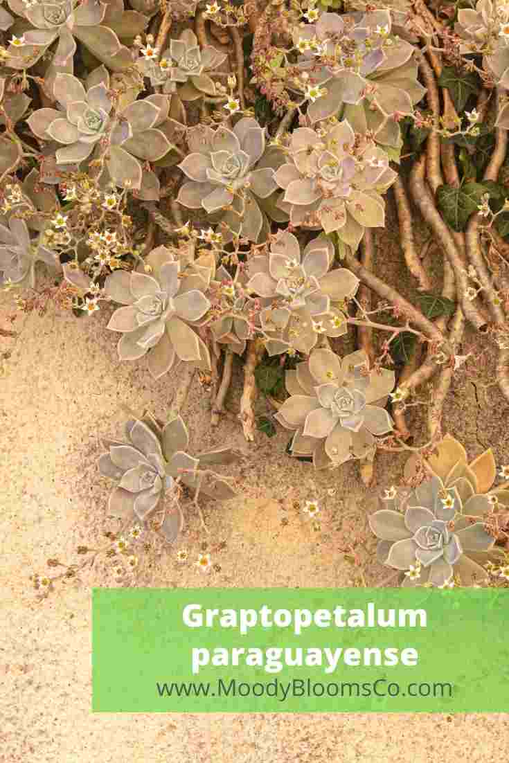 Graptopetalum paraguayense - Ghost Plant