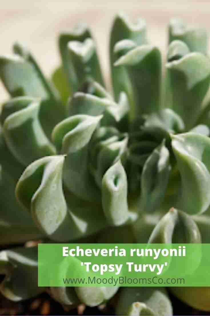 Echeveria runyonii topsy turvy