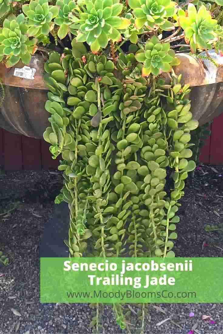 Senecio jacobsenii Trailing Jade