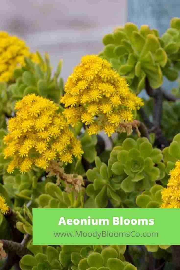 Aeonium Blooms