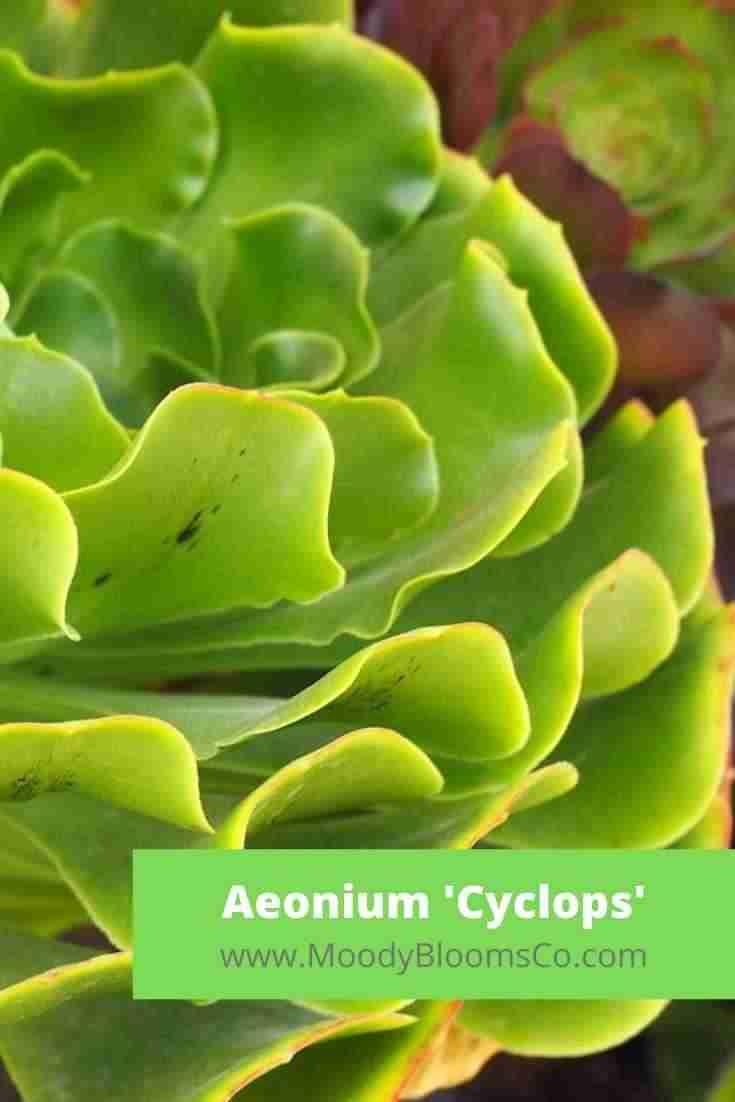 Aeonium 'Cyclops'