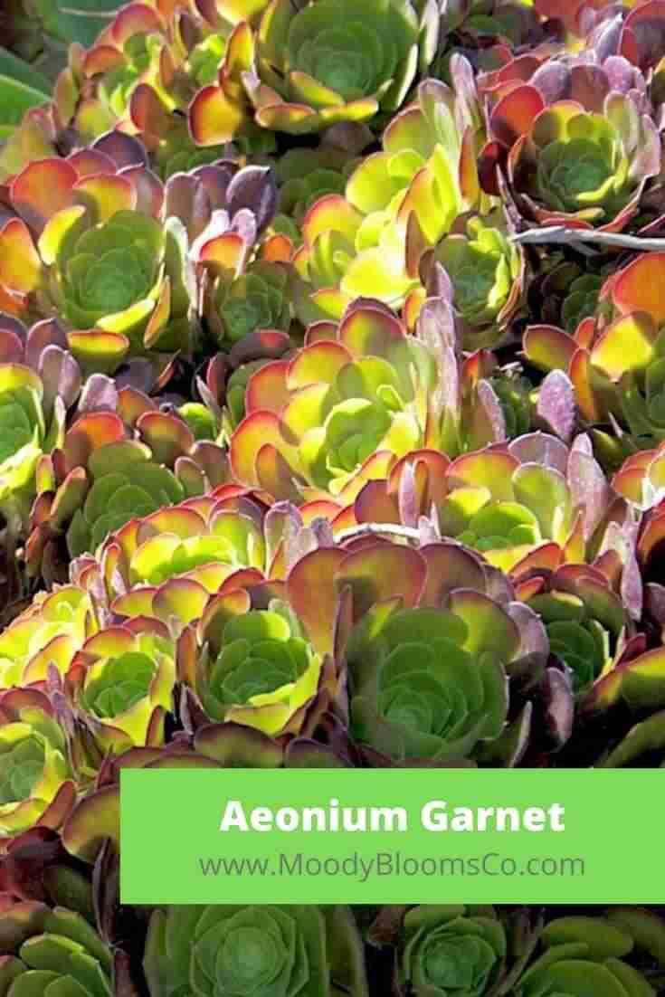 Aeonium Garnet