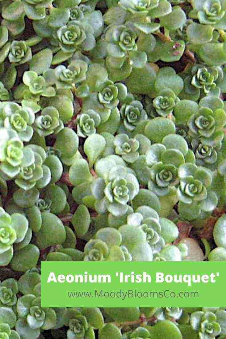 Aeonium 'Irish Bouquet'