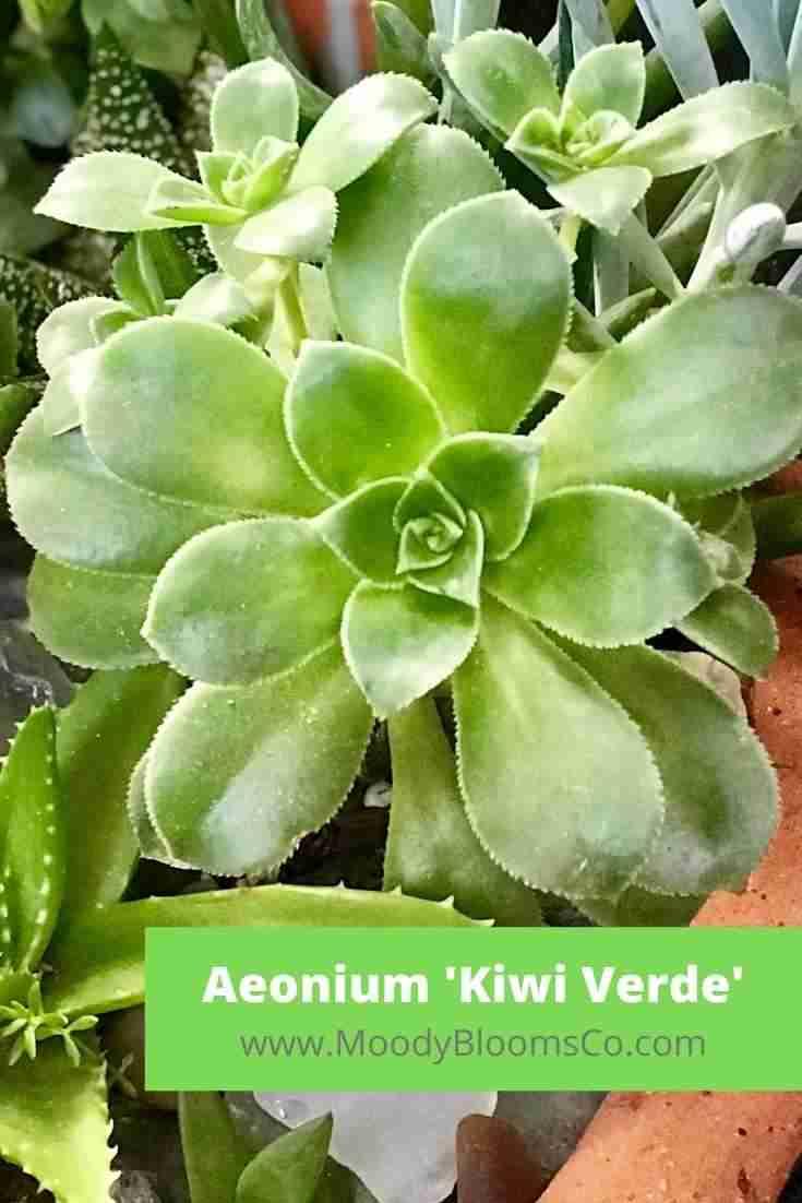 Aeonium 'Kiwi Verde' Care Guide Instructions