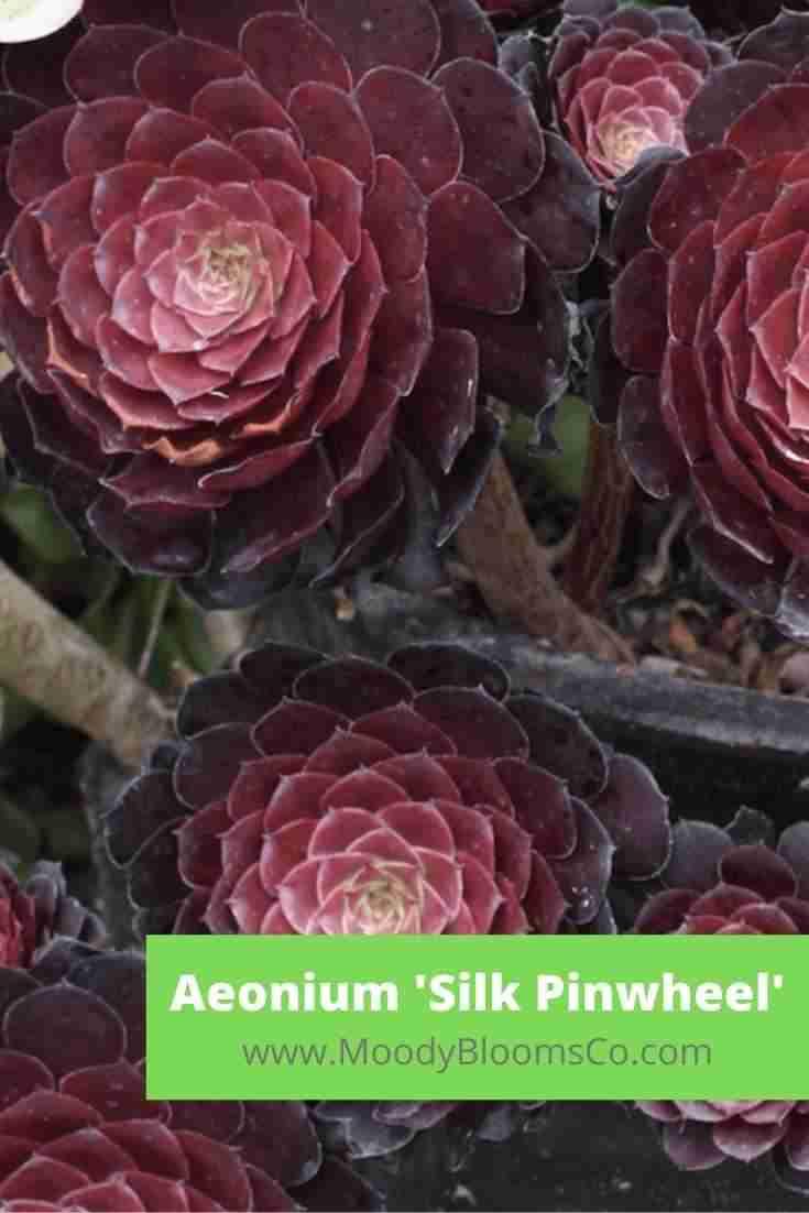 Aeonium 'Silk Pinwheel'