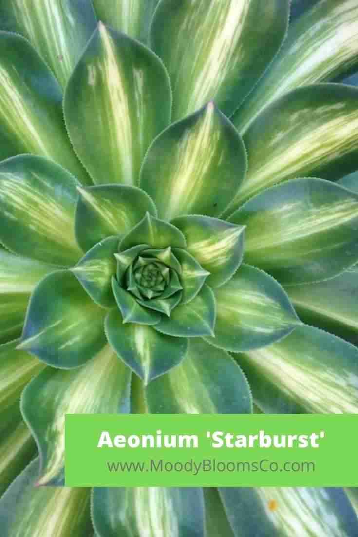 Aeonium 'Starburst'
