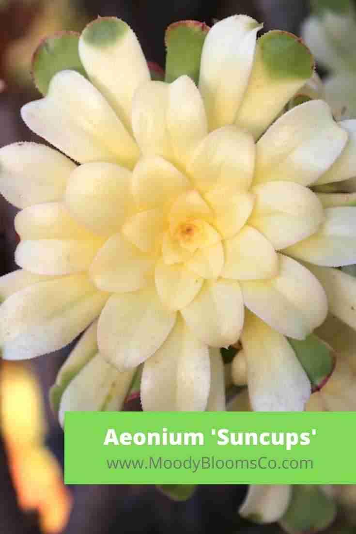 Aeonium 'Suncups'