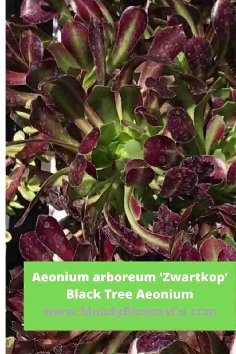 Aeonium arboreum 'Zwartkop'Black Tree Aeonium