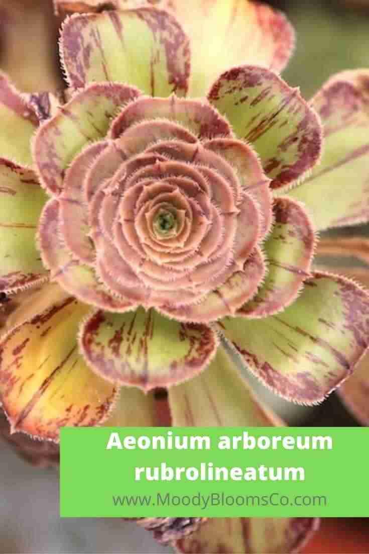 Aeonium arboreum rubrolineatum