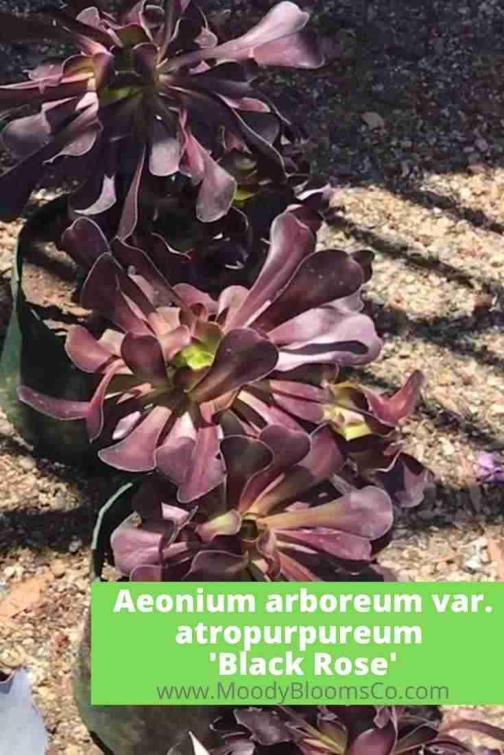 Aeonium arboreum var. atropurpureum 'Black Rose'