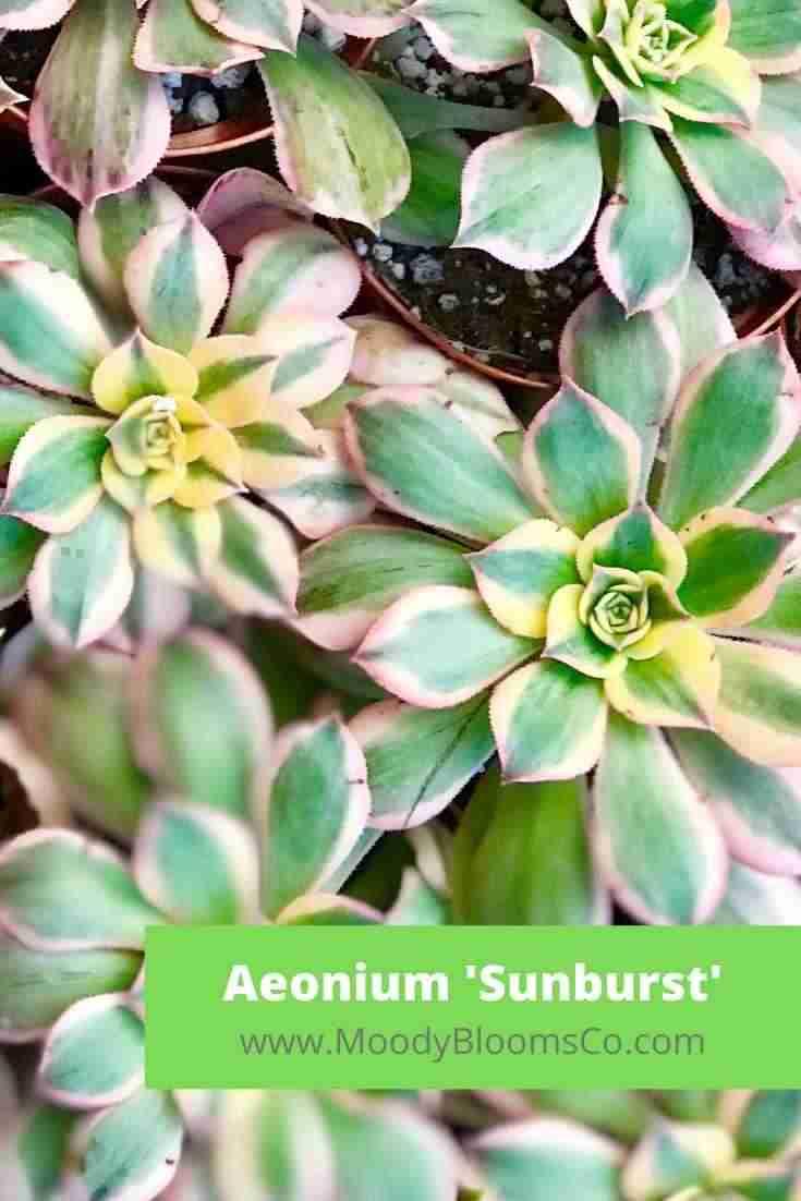 Aeonium Sunburst Care - Copper Pinwheel