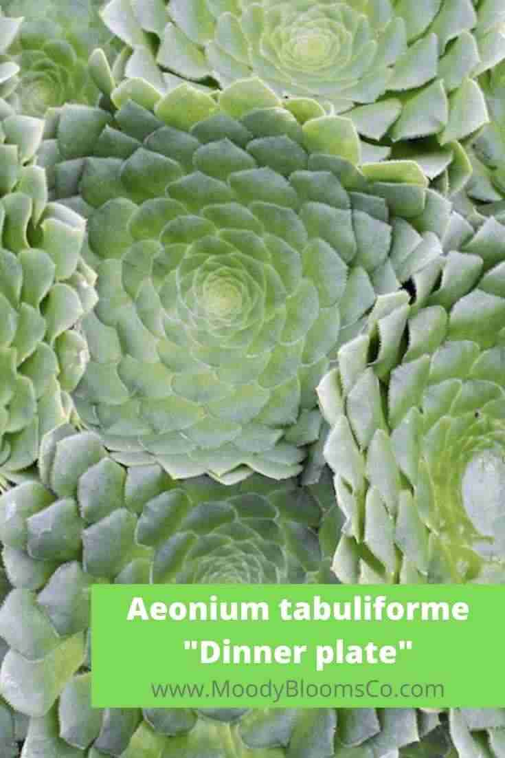 Aeonium tabuliforme Dinner plate