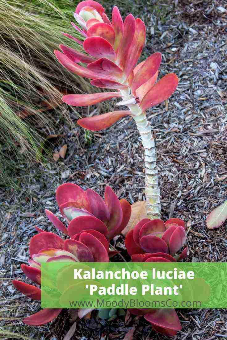 Kalanchoe Luciae