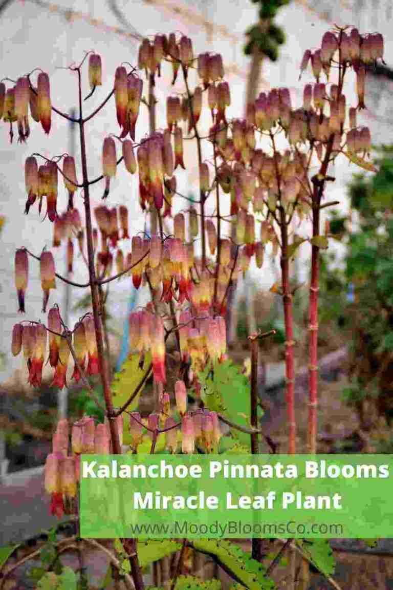 Kalanchoe Pinnata - Miracle Leaf Plant