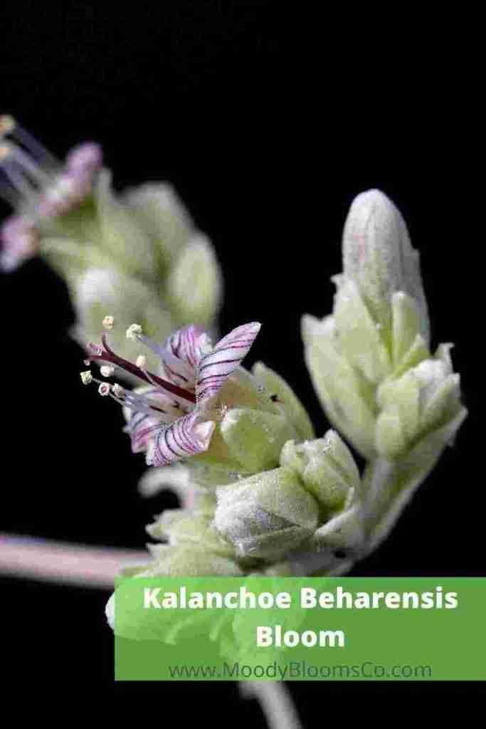 Kalanchoe beharensis Bloom