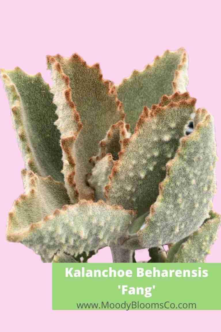 Kalanchoe beharensis Fang