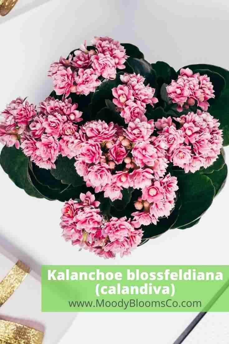 Kalanchoe blossfeldiana (calandiva)