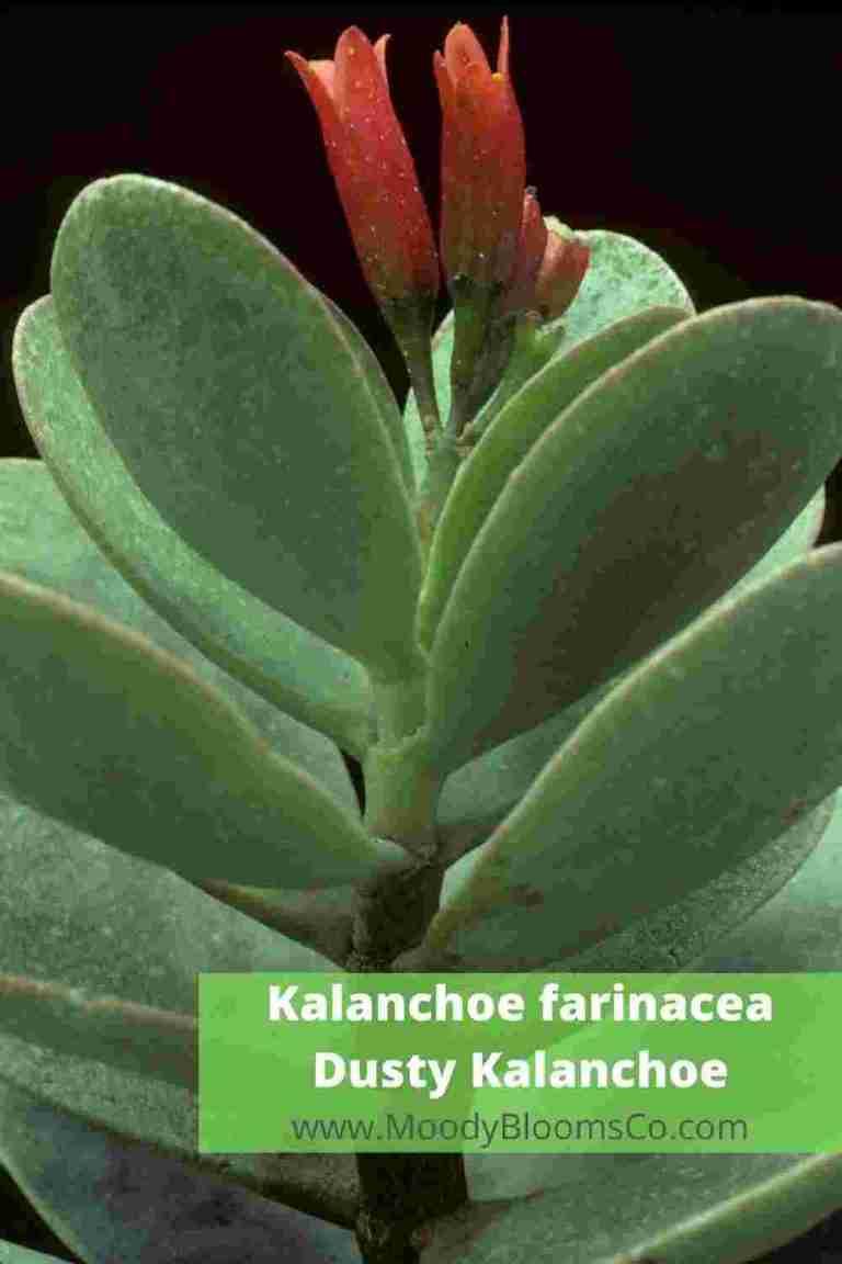 Kalanchoe farinacea Dusty Kalanchoe