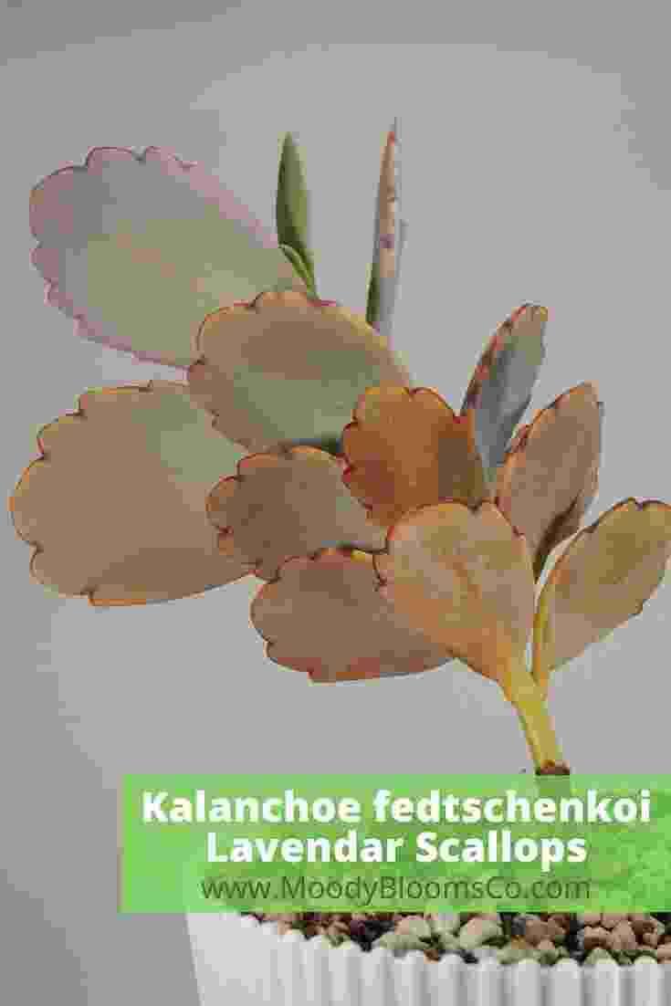 Kalanchoe fedtschenkoi