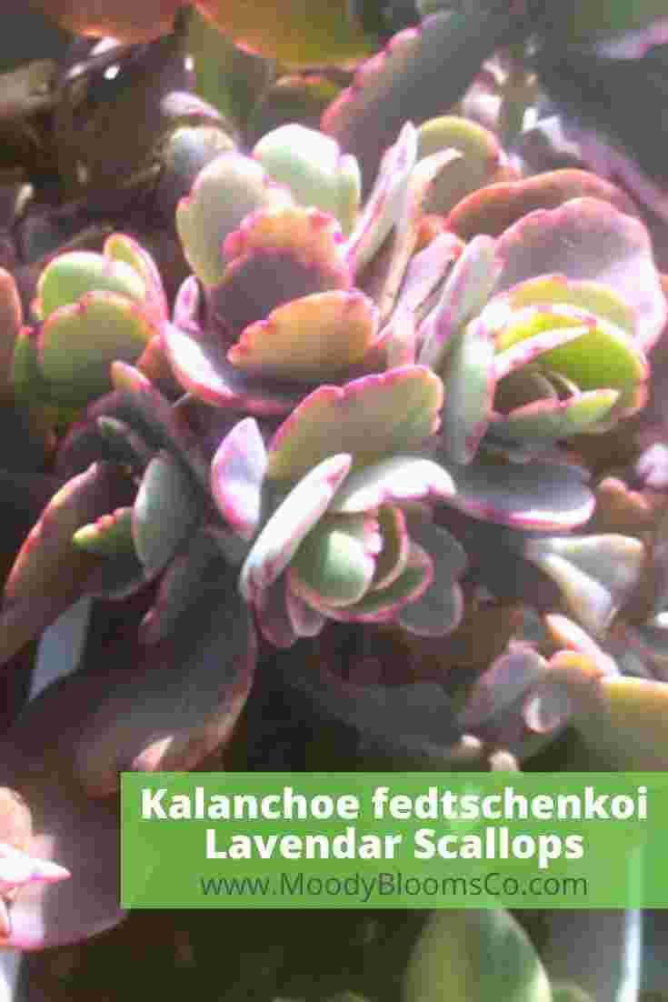 Kalanchoe fedtschenkoi 'Variegata' Aurora Borealis
