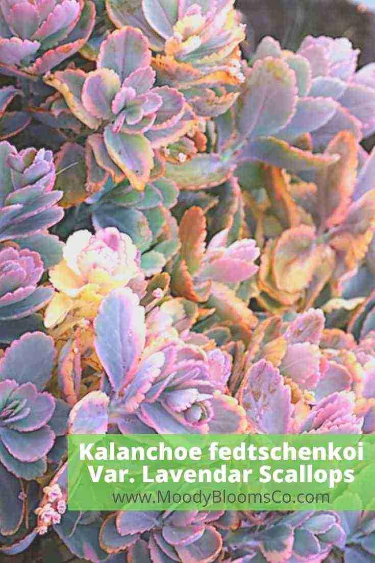 Kalanchoe fedtschenkoi variegated Lavendar Scallops