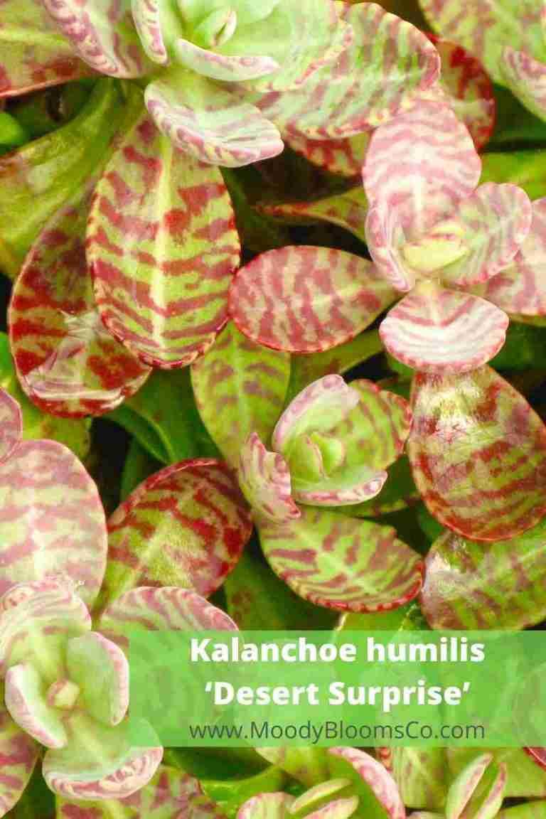 Kalanchoe humilis 'Desert Surprise'