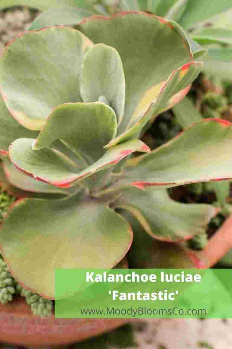 Kalanchoe luciae 'Fantastic'